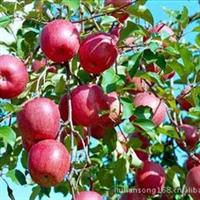 供应优质苹果苗木,红富士苹果苗,烟富苹果苗,红将军苹果苗