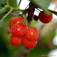 供应优质樱桃苗(乌克兰,红灯,早大果)嫁接樱桃苗