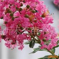 供应优质紫薇绿化苗各种规格紫薇绿化苗木,紫薇树