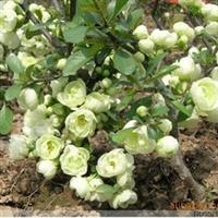 供应白雪公主(银长寿)海棠花盆景