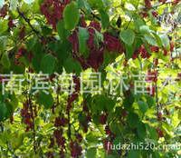 常年批量供应黄槿树(湿地植物)