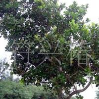 供应琼崖海棠种苗(30-40公分高)