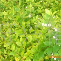 供应耐盐碱抗海风植物苦榔树苗木(缸瓦�洹⑺�胡瞒)