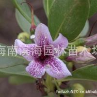 供应湿地植物海生夹竹桃苗木(苦槛蓝)