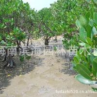 销售耐盐碱湿地植物秋茄苗木(红树林植物)