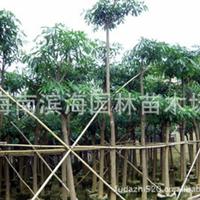 批发供应盆架子假植苗(5-20公分胸径)
