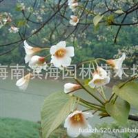 常年批量供应桐花苗木(耐盐碱湿地红树)