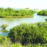 长期供应红树林植物秋茄苗木