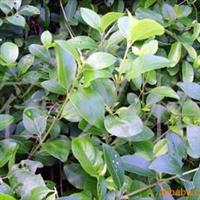 批发供应苦榔树/许树/假茉莉(防风护沙湿地植物)