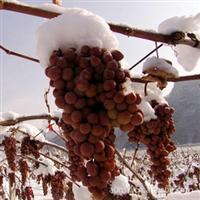 地被征买一送一成熟期较早与较晚的神奇冬葡萄苗