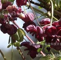 地被征买一送一美国药、食、绿化、观赏的芒果蜜瓜苗
