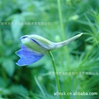 野外婚纱摄影基地首选品种--飞燕草种子(购种免设计费)