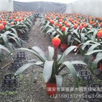 大量供应室内高档花卉盆栽红掌盆景植物