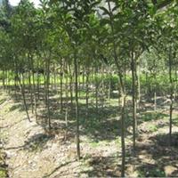 生态种植批发11公分桂花树
