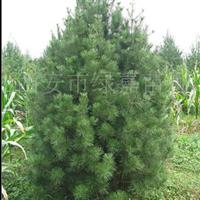 西安市绿嘉苗圃供应30-70公分营养钵白皮松