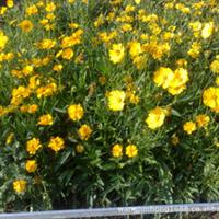 供应——金鸡菊-苗子-各种菊花种子
