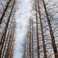长期供应:水杉树(4-18公分)王学胜(个体经营)