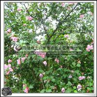 木槿胸径4.2-4.8cm福建花卉