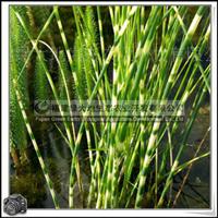 冲天草花叶水葱多年生宿根挺水草本植物