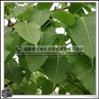 菩提榕假植苗绿化乔木