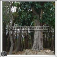 高级行道树菩提榕胸径7cm20cm