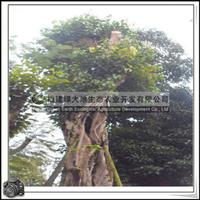 绿化苗木乔木菩提树胸径150-160公分