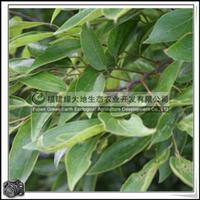 落叶乔木榆科朴树胸径20-30公分