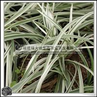 银边草银边麦冬草本植物观赏性强