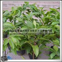 白玉兰苗木供应白玉兰幼苗高度30-70公分胸径1cm