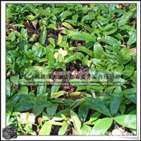 软枝黄蝉|常绿蔓性藤本|绿化苗木|常绿植物