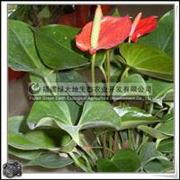 红掌观叶植物居室绿化花卉