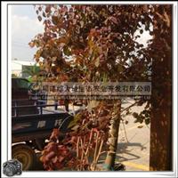 红叶乌桕高1.2-2米冠幅0.8-1.5