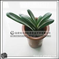 君子兰|园林绿化苗木|室内观花植物|净化空气