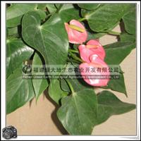 高37cm红掌室内观赏盆栽