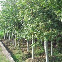 沭阳花木之乡超低价直供马褂木/鹅掌楸等绿化苗木