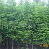 大量供应乔木灌木水杉,水杉树