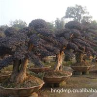 盆景:造型红花继木古桩,造型红花继木,红花继木,红花桎木