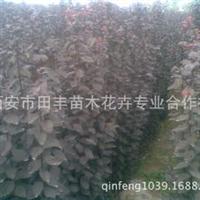 1.5米紫叶李