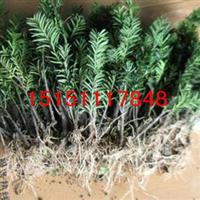 基地常年批发树形优美的曼尼亚红豆杉(图)