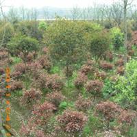 【批量供应】各种规格的优质红叶石楠【量大从优】