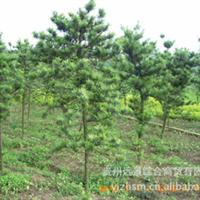 产地【超值】特价罗汉松批量供应【园艺设计与绿化】