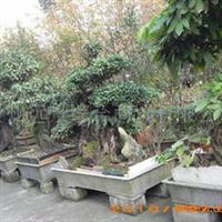 各种规格的岩豆等古桩盆景