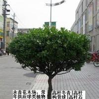 永青花木场专业出售高杆冬青球、独杆冬青球、大规格冬青球等苗木