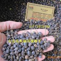 现货出售槐树种子、国槐种子、国槐新种子【种子实物照片】量大