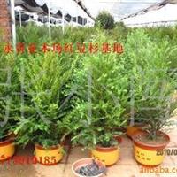 常年出售南方红豆杉、盆栽红豆杉|盆栽红豆杉树|红豆杉种子等
