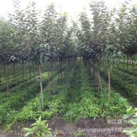 大量供应四川成都产优质天竺桂小苗高10--50公分
