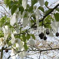 产地直销珙桐树苗(水梨子,鸽子树),欢迎订购!