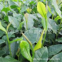 【新品上市茶苗批发】宜都友民种苗供应各种优质茶树扦插苗