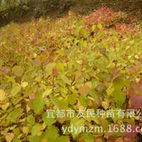 批发供应、产地直销、珍稀观叶树种连香树苗