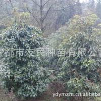 基地直销优质桂花树批发供应结籽桂花苗火红丹桂苗